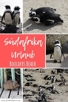 Ein Highlight für einen Südafrika Urlaub Pinguine am Boulders Beach und Foxy Beach – trefft die südafrikanischen Pinguine. Informationen zu den Pinguinen in Südafrika und Tipps zum Besuch am Boulders Beach und Foxy Beach bei den Simons Town Pinguinen. #Südarika #BouldersBeach #Pinguine #HighlightsSüdafrika Tromso, Boulder Beach, Bouldering, Gin, Movie Posters, Outdoor, Animals, Penguins, South Africa Holidays