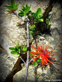 Notro en flor (Embothrium coccineum)