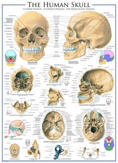 Your Source for jigsaw puzzles : EuroGraphics Human Skull Puzzle. Learn about the bones of the human body. Features details of the skull and bone structure.