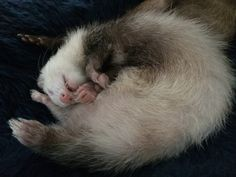 Patches panda ferret cuteness