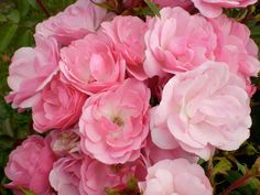 Pinktopia shrub rose