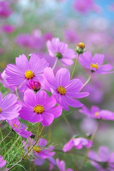 """I think it pisses God off when you walk by the color purple in a field and don't notice it!"" /COSMOS one of my favorite flowers. Amazing Flowers, My Flower, Beautiful Flowers, Cosmos Flowers, Wild Flowers, Purple Flowers, Spring Flowers, Paper Flowers, Planting Flowers"
