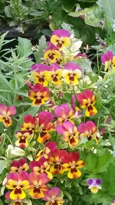 Spring Pansies Praise God, Planting Seeds, Pansies, Projects To Try, Gardens, Spring, Flowers, Plants, Florals