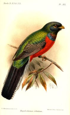 Bar-tailed Trogon - Apaloderma vittatum, Africa illustration by Keulemans, 1892 incorporate bird into design? Vintage Botanical Prints, Vintage Birds, Bird Illustration, Illustrations, Greater Bird Of Paradise, Audubon Prints, Bird Clipart, John James Audubon, Desenho Tattoo