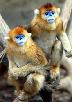 Golden snub-nosed monkey. Rain it rains they use leaves as an umbrella other wise the rain falling into their nose makes them sneeze!