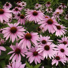 1998 - Echinacea purpurea 'Magnus'