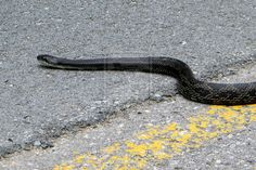 Black Rat, Rat Snake, The Next Step, Snakes, Rats, State Parks, The Past, Animals, Animales