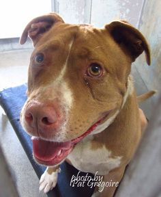GONE - A4804234 I am a very friendly 5 yr old spayed female tan/white pit bull mix. I came to the shelter as a stray on Feb 28. available 3/11/15 NOTE: Bully breeds are not kept as long as others so those dogs are always urgent!! Baldwin Park shelter https://www.facebook.com/photo.php?fbid=931590716852766&set=pb.100000055391837.-2207520000.1425256006.&type=3&theater