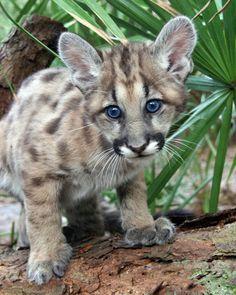 Photo - Ares Cougar Cub