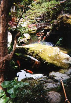Traditional Japanese garden with koi