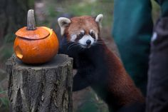A red panda and Asian small-clawed otter pups at Woodland Park Zoo played with pumpkins stuffed with favorite treats to kick off Pumpkin Bash. The weekend event features pumpkins for the zoo's animals, trick-or-treating for kids, and festive entertainment for little goblins and ghosts. October 24th 2013. (Joshua Lewis / KOMO News)