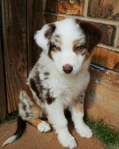 Discover The Intelligent Aussie Puppies And Kids Australian Shepherd Puppies, Aussie Puppies, Australian Shepherds, Corgi Puppies, Pomeranian Puppy, Husky Puppy, Cute Baby Dogs, Cute Dogs And Puppies, Doggies