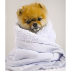 All the things we enjoy about the Pomeranian Discover Lively Pomeranian Dogs Cute Baby Puppies, Baby Dogs, Cute Dogs, Dogs And Puppies, Cute Little Animals, Cute Funny Animals, Jiff Pom, World Cutest Dog, Cute Hamsters