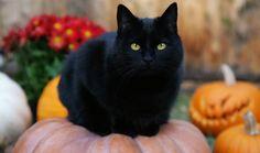 Schwarze Katze mit gelben Augen auf Kürbis                                                                                                                                                                                 Mehr