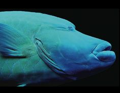 Cheilinus undulatus (Napoleon Wrasse, Humphead Wrasse, Maori Wrasse) is the largest living member of the family Labridae, with males reaching 6 feet, while females rarely exceed about 3 feet.