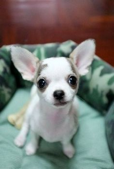 Chihuahua!! Puppy tiny but mighty. They are highly intelligent and remember for a very long time. Please love your pup and do not abuse it! They are very emotional and loving. Check out some articles located in this pinners category! Ehow has great advice. Something you may not know about Chihuahuas:. They have a *Soft Spot* on their head that NEVER EVER closes (our human baby's spot closes theirs never do!). Do not push in or hit them ever!!!
