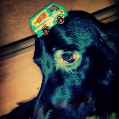 Dog head derevation