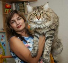 Now THIS Is A Maine Coon!