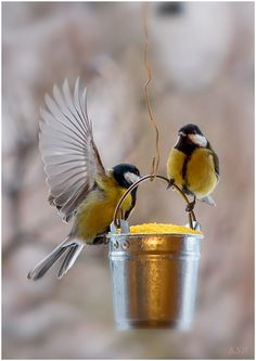 Goldfinches have been tapping on our front window the past 3 days