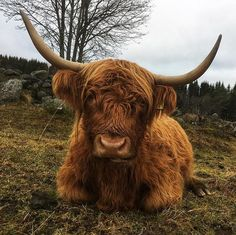 Barnyard Animals, Zoo Animals, Animals And Pets, Cute Animals, Scottish Highland Cow, Highland Cattle, Cow Pictures, Animal Pictures, Cow Drawing
