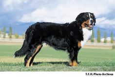 Visit Nylabone's Dog 101 section for photos and information on Bernese Mountain Dogs.