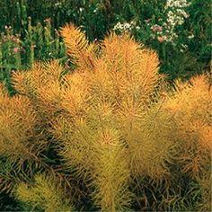 Amsonia hubrichtii - Plantes et Jardins