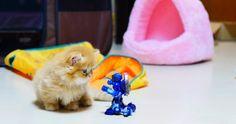 【これはニャに?】仔猫のはじめてのねこじゃらし遊び♡まさかの失敗……? - Spotlight (スポットライト)