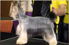 Yorkie haircuts for males and females + pictures) - Yorkie. Yorkie Cuts, Yorkie Haircuts, Silky Hair, Yorkies, Yorkshire Terrier, Hair Cuts, Lovers, Female, Film