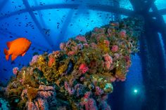 Marine Life Thrives in Unlikely Place: Offshore Oil Rigs - The New York Times
