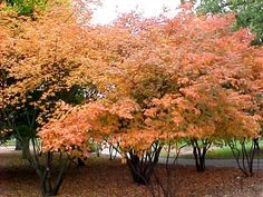 Amelanchier canadensis fall color
