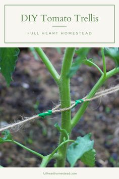 DIY Trellising Tomatoes with twine and fence posts, super easy DIY tomato trellis – Full Heart Homestead - Bean Trellis, Grape Vine Trellis, Tomato Trellis, Cucumber Trellis, Diy Trellis, Tomato Cages, Garden Trellis, Tomato Cage Diy, Trellis Fence