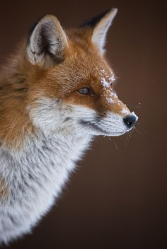 Red Fox by iso 0815