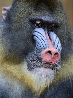 """MANDRILL, an Old World MONKEY .     """"The Mandrill (Scientific name:Mandrillus sphinx) is a primate of the OLD WORLD MONKEY family. It is 1 of 2 species assigned to the genus Mandrillus, along with the Drill.Wikipedia."""" & """"LIKE ALL MONKEYS, MANDRILLS communicate through scent marks, vocalizations, & body language.sandiegozoo.org.""""     (Image: """"Mandril."""")"""