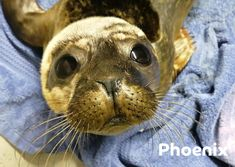 For just €30 you can adopt Pheonix and watch as he makes his way thorugh rehabilitation and back to the ocean. Get his rescue story, pictures from his first few days at Seal Rescue Ireland and weekly photo and video updates!! Seal Pup, Ireland, Adoption, Ocean, Photo And Video, Watch, Pictures, Animals, Foster Care Adoption