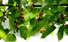 growing mulberries with well-formed berries