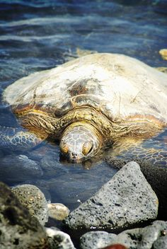 ♥ Turtle time on the Big Island