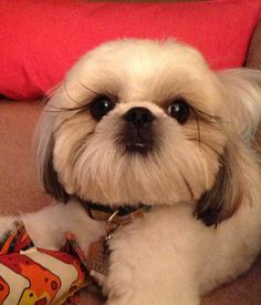I love this haircut for Shih-tzu's!