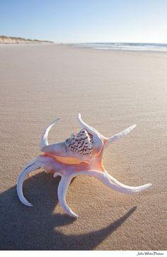 Sea Shells at the Seashore Shell Beach, Ocean Beach, Am Meer, Shell Art, Jolie Photo, Ocean Life, Science And Nature, Marine Life, Sea Creatures