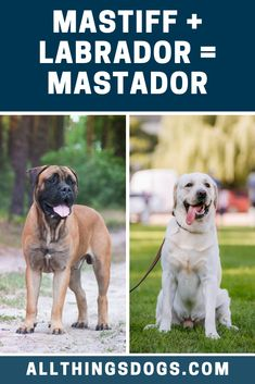 The Mastador is a designer mix between a Mastiff and a Labrador Retriever, meaning this dog is a gentle giant who is well suited to family life. These dogs Top Dog Breeds, Large Dog Breeds, Labrador Dogs, Labrador Retriever, Big Dogs, Large Dogs, Mastador Dog, Loyal Dogs, Gentle Giant