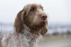 Spinone Italiano / Italian Griffon Puppy Dog