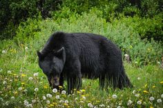 Black bear in a field of wildflowers