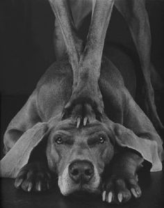 "© William Wegman, Photos from 1971-2006 - William Wegman is an artist best known for creating series of compositions involving dogs, primarily his own Weimaraners in various costumes and poses. While teaching at California State University, Long Beach, he acquired the first and most famous of the dogs he photographed, a Weimaraner he named Man Ray. Man Ray later became so popular that the Village Voice named him ""Man of the Year"" in 1982. #animals #dog #bwphotography #blackandwhite #art"