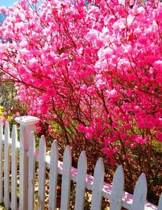Pink Flowering tree behind a white picket fence