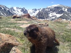 Marmot in Rocky Mountain National Park in Colorado