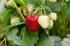Best Plants for Straw Bale Gardening - What to Grow in Straw Bales Straw Bales, Hay Bales, Hay Bale Gardening, Strawberry Plants, Cool Plants, Fruit, Gardens, Outdoor Gardens, Garden