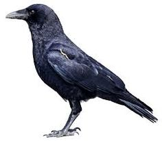 I have become intrigued by crows now that they hang around my yard all the time and I've read about their intelligence.