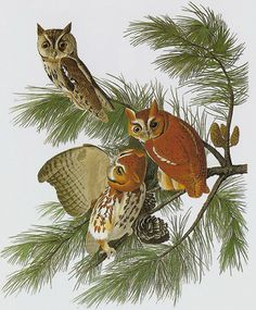 Owls In Ohio, Happy Bird Day, Screech Owl, Bright Eyes, Quotations, Rooster, Birds, Cartoon, Animals