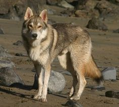Meet the Tamaskan Dog. NOT to be confused with a Wolf, this FULLY ...