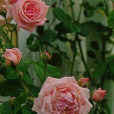 Storblommig klätterros 'Coral Dawn' Rosa Storblommiga Klätterros-Gruppen 'Coral Dawn' Rosaceae Vacker klätterros som även kan användas som buskros. Blommar kontinuerligt med stora, doftande, korallrosa blommor.