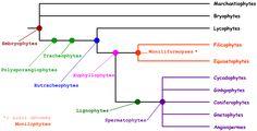 Bryophyta Chlorophyta Marchantiophyta Lycopodiophyta Ophioglossophyta Pteridophyta Cycadophyta \ Ginkgophyta \ Gnetophyta \ Pinophyta (4 qui forment les gymnospermes) Magnoliophyta (ou angiospermes) Equisetophyta et Psilophyta appartenant à Pteridophyta sont parfois considérés comme embranchement à part. Bacillariophyta (diatomée), Cyanidiophyta, Glaucophyta, Prasinophyceae et Rhodophyta appartenant aux protistes sont parfois considérés comme des plantes.